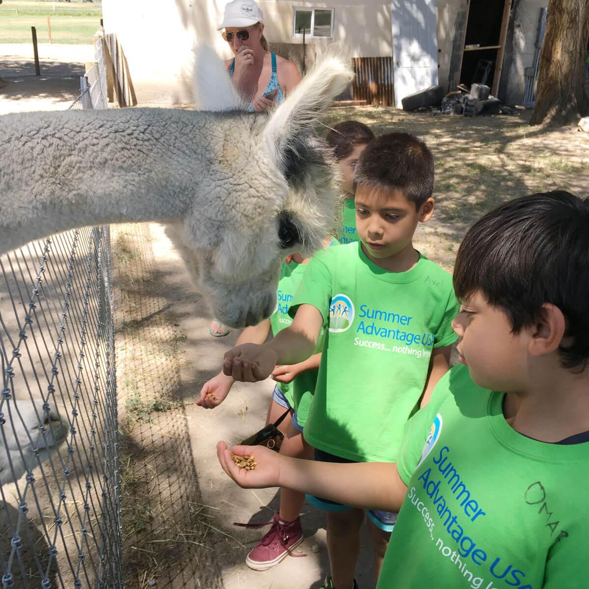 Summer Advantage students feeding an alpaca